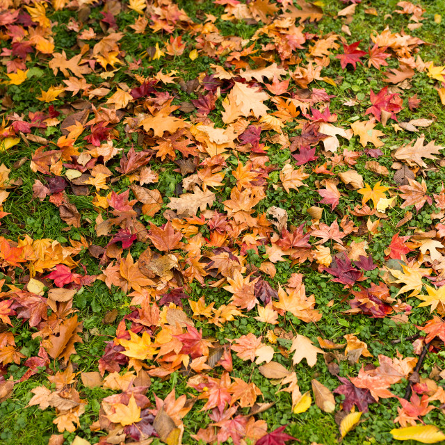 """Maple leave on ground"" stock image"