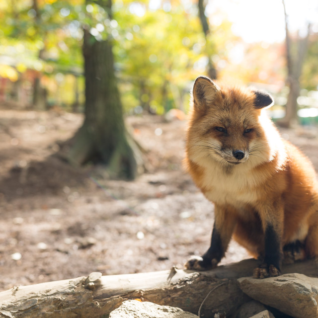 """""""Lovely fox at outdoor in autumn"""" stock image"""