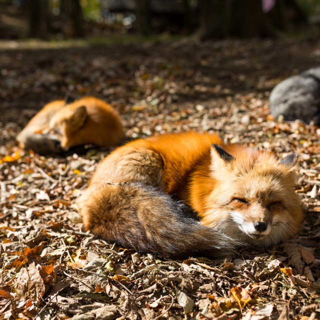 """""""Red fox sleeping at outdoor"""" stock image"""
