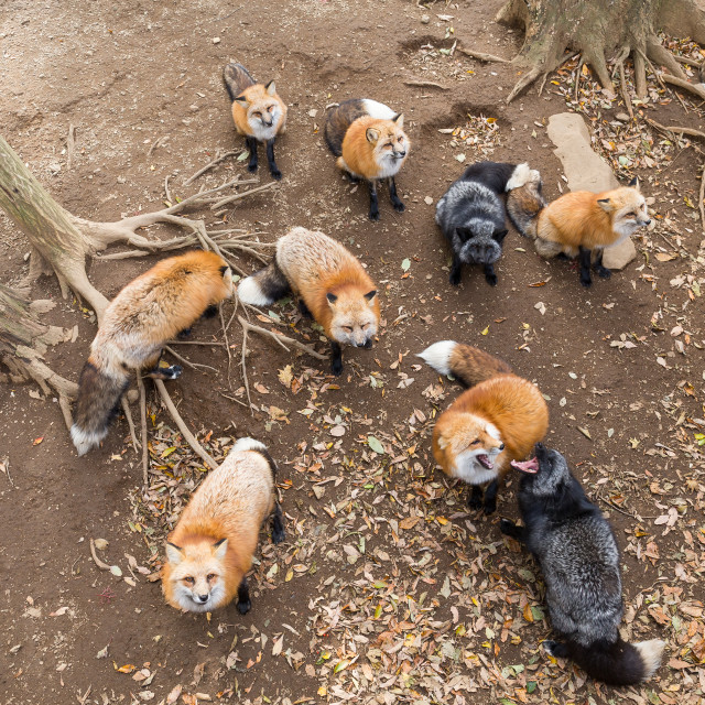 """""""Group of Fox looking up and waiting for food"""" stock image"""