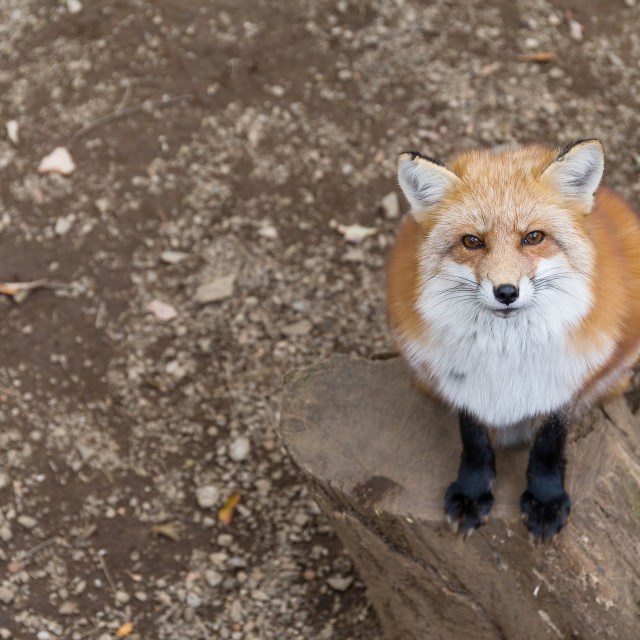 """""""Lovely Fox looking up"""" stock image"""