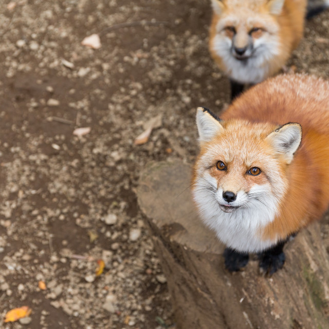 """Fox want food"" stock image"