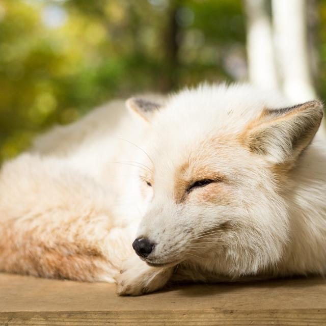 """Fox sleeping at outdoor"" stock image"