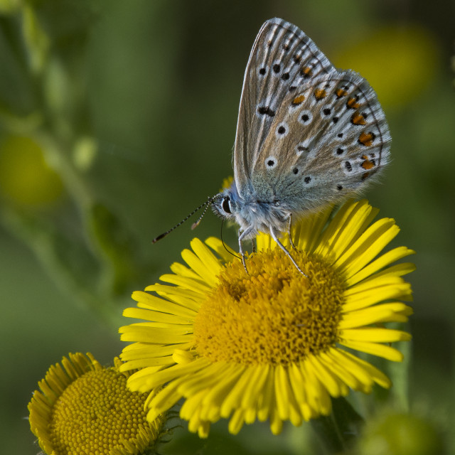"""Common Blue Butterfly on Wildflower"" stock image"