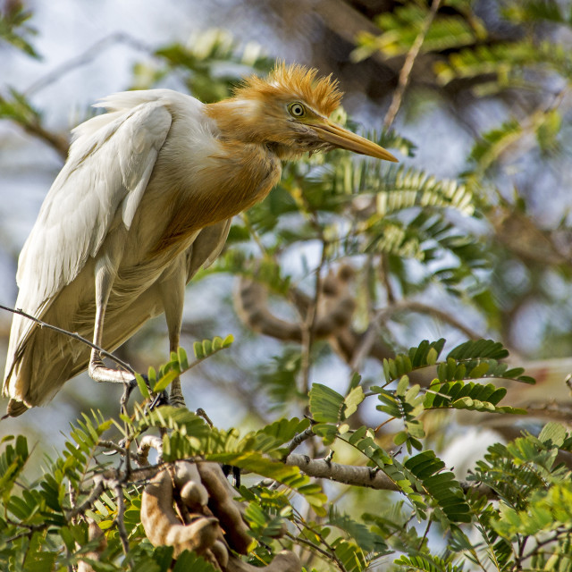 """Cattle Egret on Alert"" stock image"