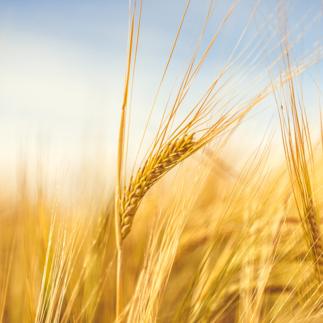 """Golden wheat field. Wheat stalks and grain close up, selective focus in soft shades of yellow and orange."" stock image"
