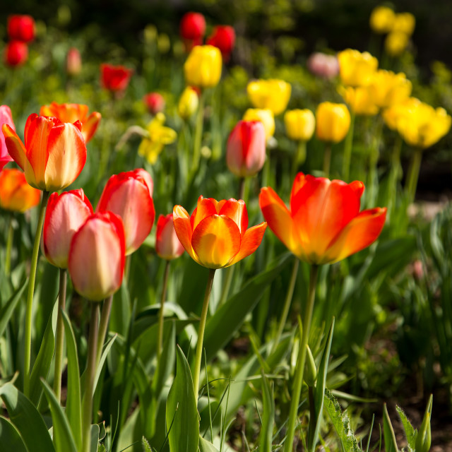"""Tulip Garden"" stock image"
