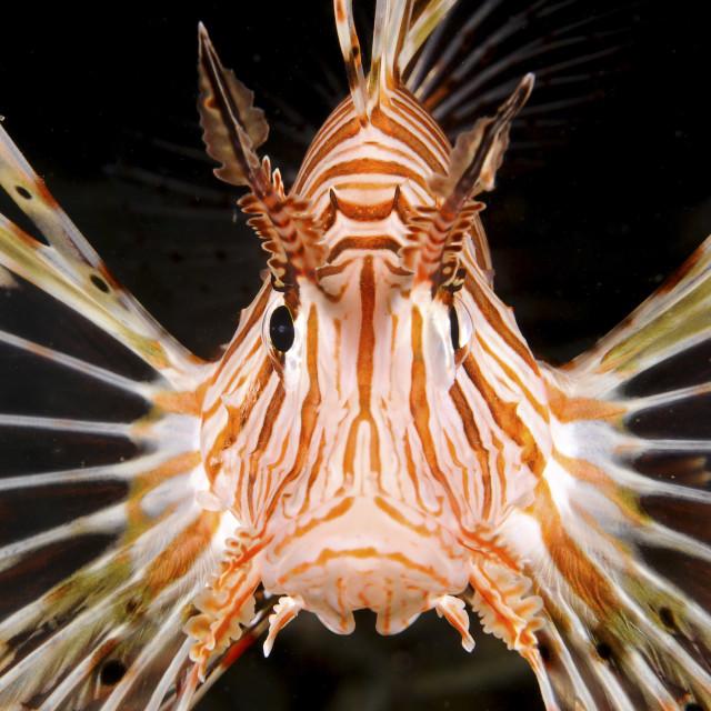 """radial Lionfish Pterois radiata"" stock image"