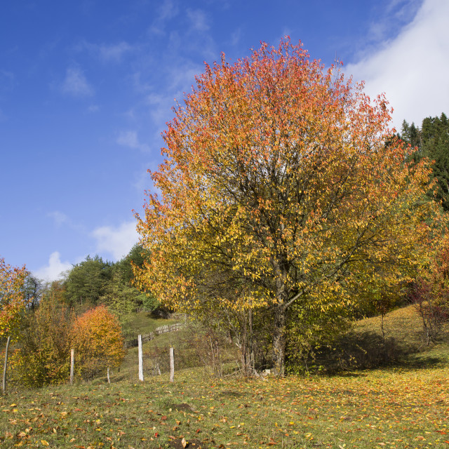 """""""Autumn trees and evergreen forest"""" stock image"""