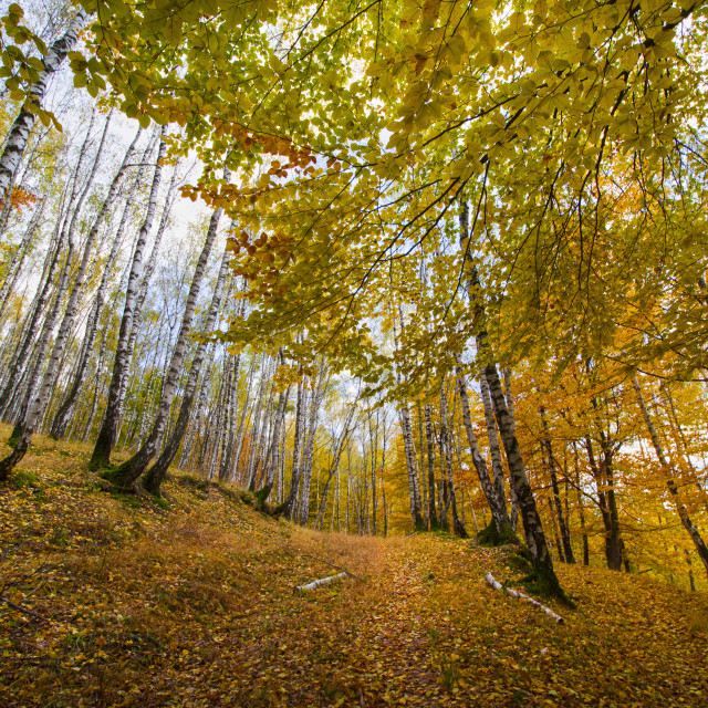"""""""Silver birch forest in autumn"""" stock image"""