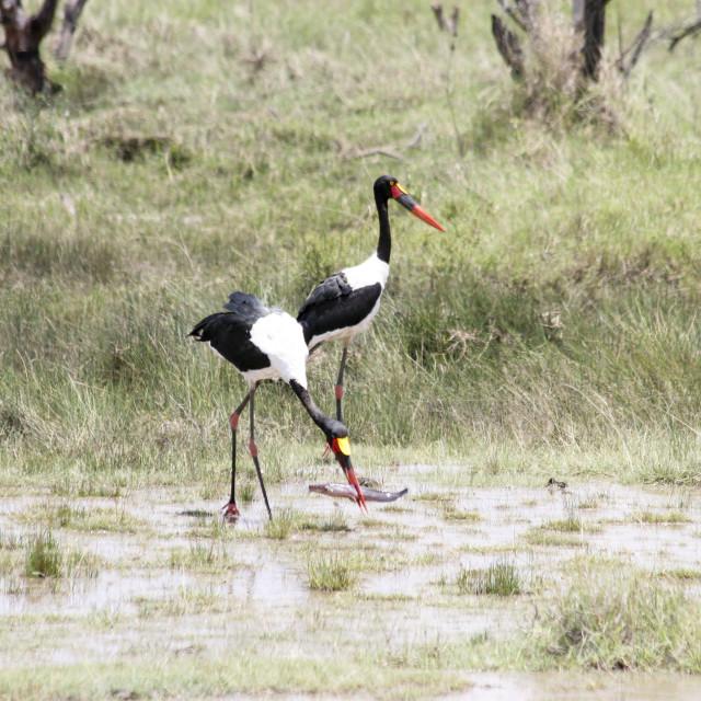"""Lake Manyara National Park Saddle-billed Stork"" stock image"