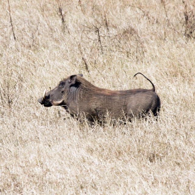 """""""Lake Manyara National Park Warthog"""" stock image"""