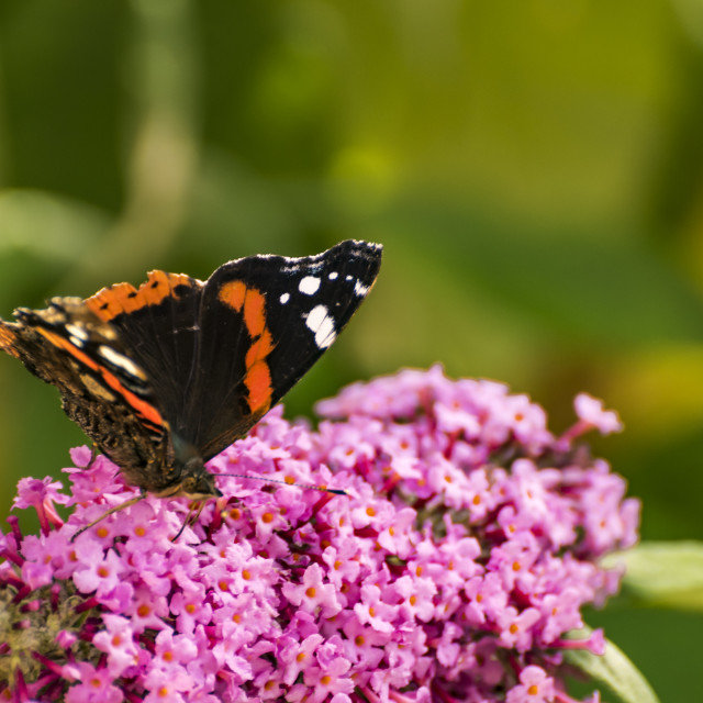 """Butterfly on Buddleia"" stock image"