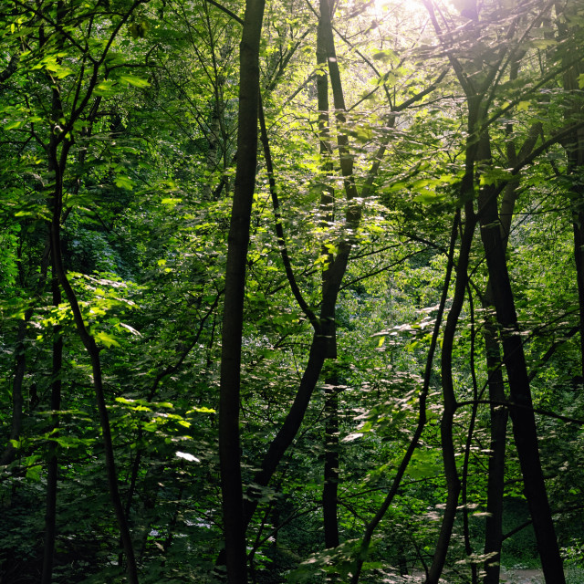 """Sunlit Summer Woods"" stock image"