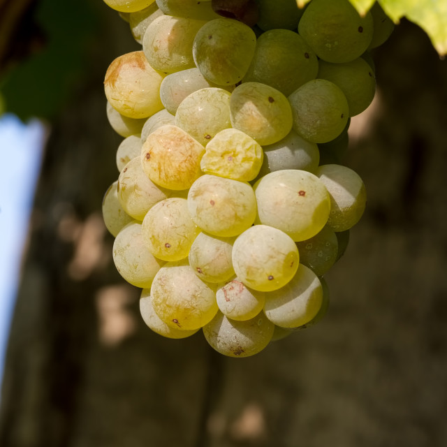 """Tasty green Welschriesling grapes close-up"" stock image"