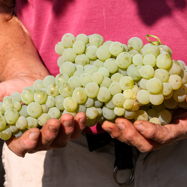 """""""Delicious grape on the farmer hands"""" stock image"""