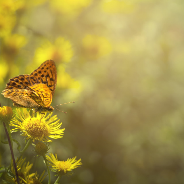 """""""Butterfly enjoying the morning sun on top of the flower"""" stock image"""