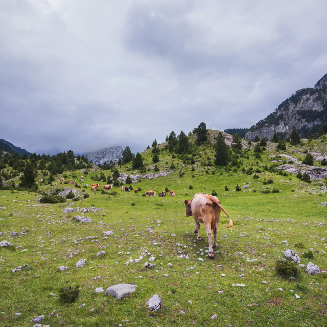 """""""Herd of Cows in a Mountain Valley"""" stock image"""