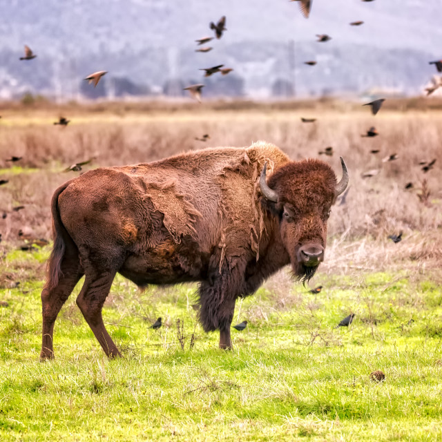 """""""Bison Buffalo Portrait in a Grassy Field, Color Image"""" stock image"""