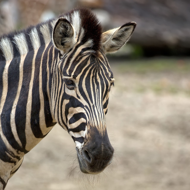 """Zebra, a portrait"" stock image"