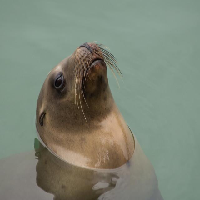 """Sea Lion"" stock image"