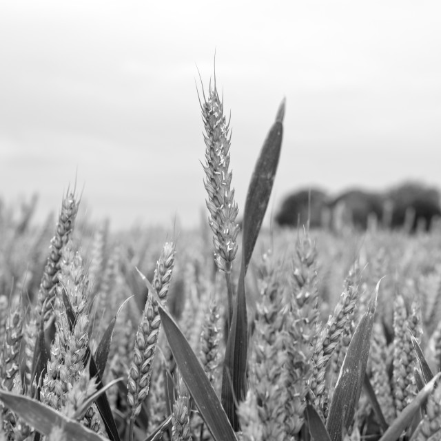 """barley crop in grey"" stock image"