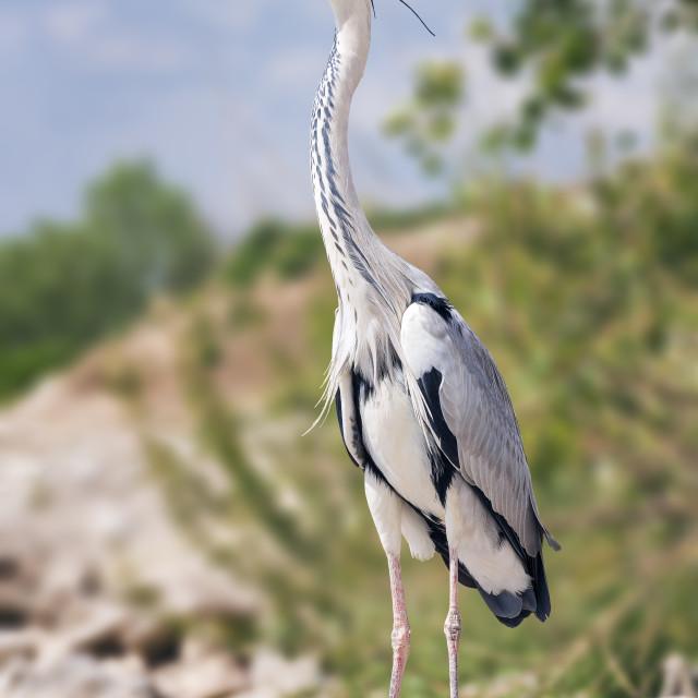 """""""Heron enjoying the sunny day"""" stock image"""