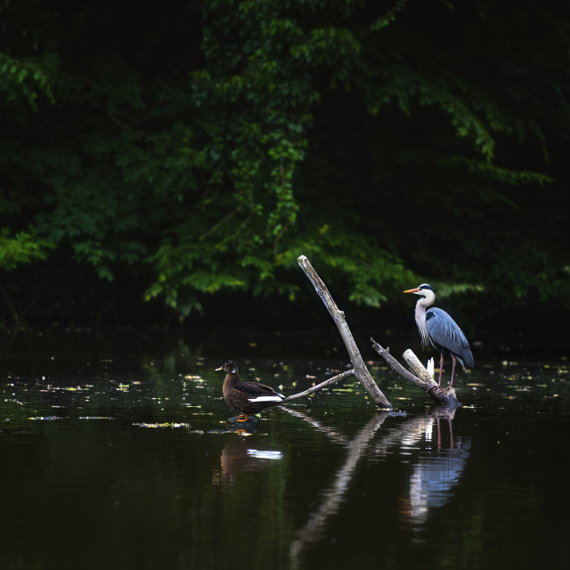 """Heron and Duck Enjoying Peacefully on the Lake"" stock image"