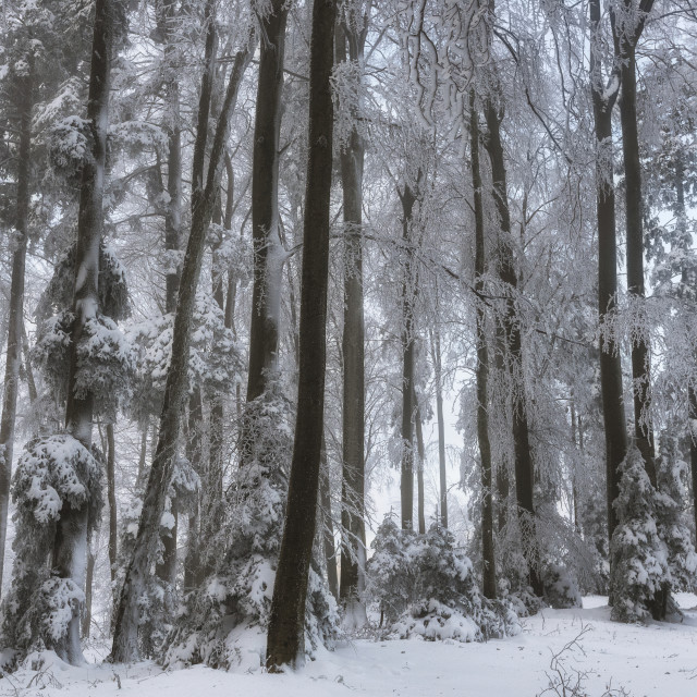 """""""Snowy forest in the Winter"""" stock image"""