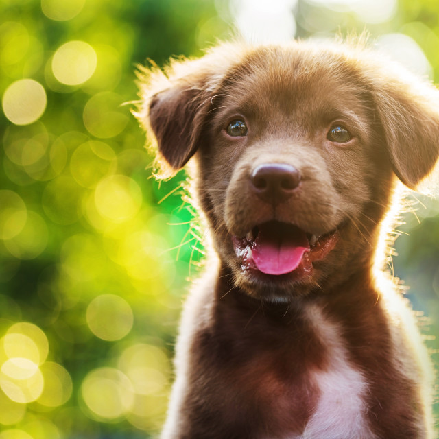 """brown puppy with bokeh background"" stock image"