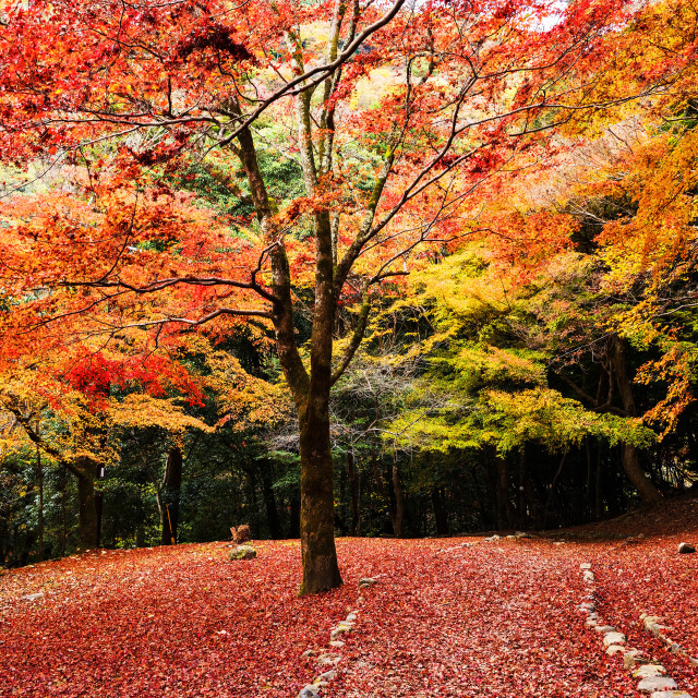 """Autumn trees with red leaf carpet, Arashiyama"" stock image"
