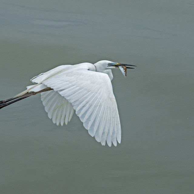 """Great Egret with Fish 2017"" stock image"
