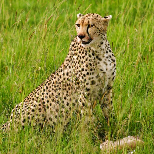 """Cheetah with its kill"" stock image"