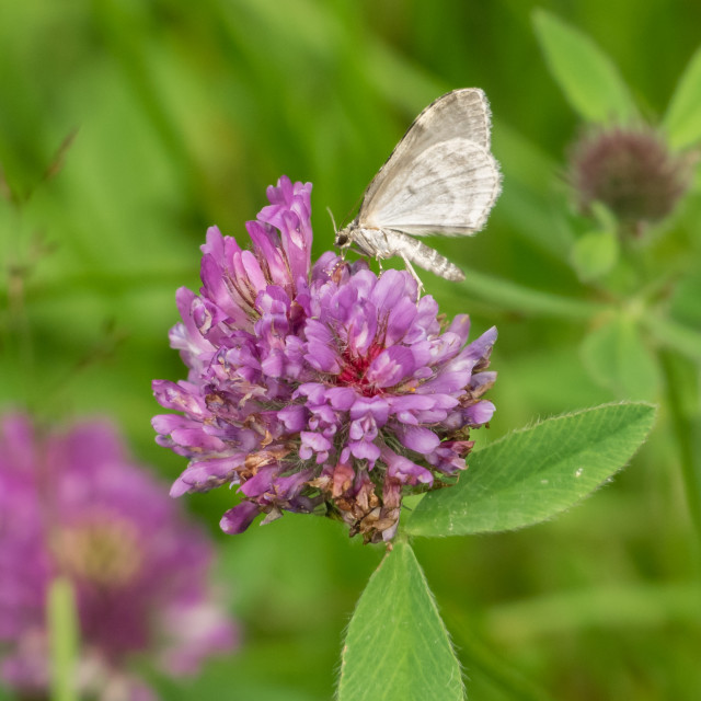 """Butterfly on red clover"" stock image"