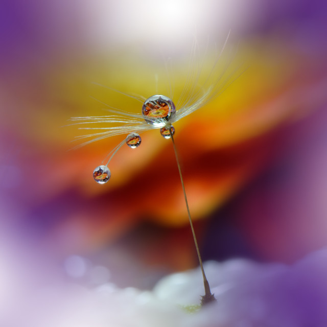 """""""Tranquil abstract closeup Dandelion Art photography.Pastel Flower."""" stock image"""