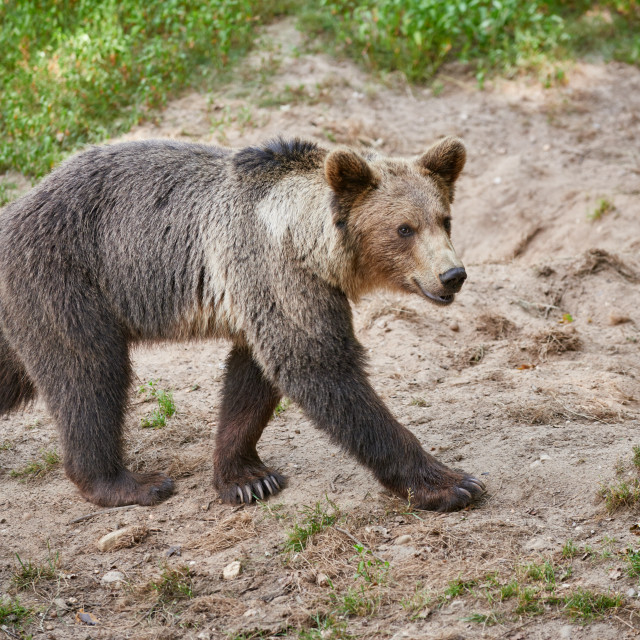 """Eurasian brown bear"" stock image"