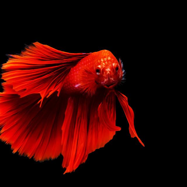 """""""red thai siamese betta fighting fish"""" stock image"""