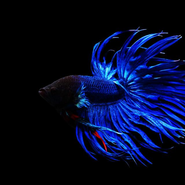 """Blue Thai siamese fighting fish"" stock image"