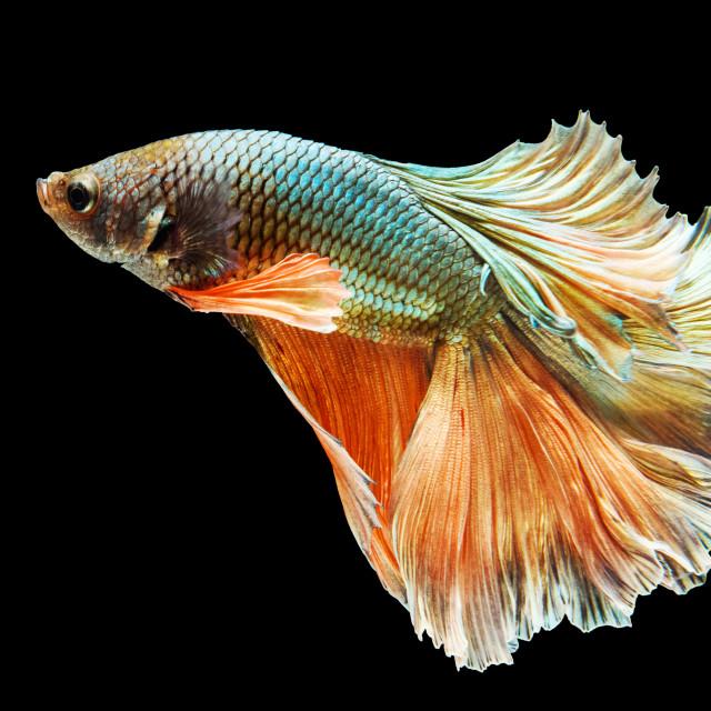 """Green and orange Thai fighting fish"" stock image"