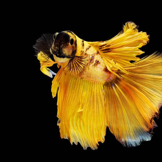"""""""Yellow thai siamese betta fighting fish"""" stock image"""