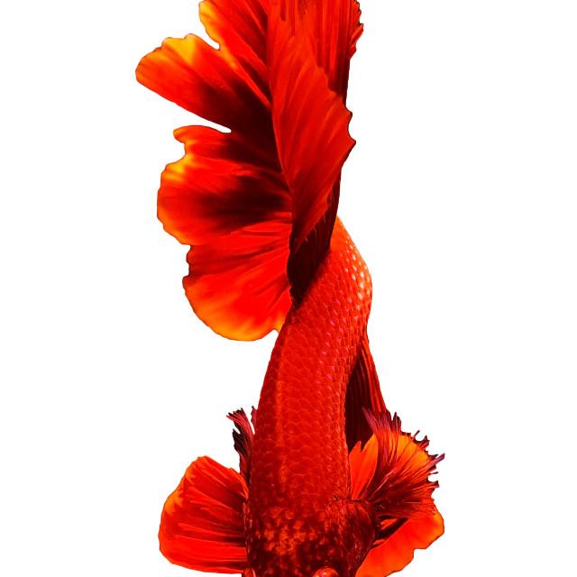 """Red Thai Betta or siamese fighting fish"" stock image"