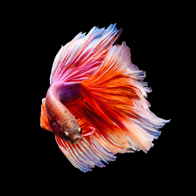 """siamese fighting fish Half moon"" stock image"