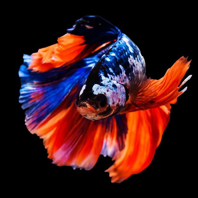 """Colorful Thai betta siamese fighting fish"" stock image"
