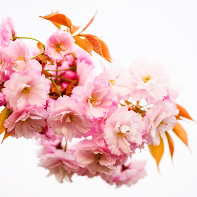 """Pink sakura or Cherry blossom"" stock image"