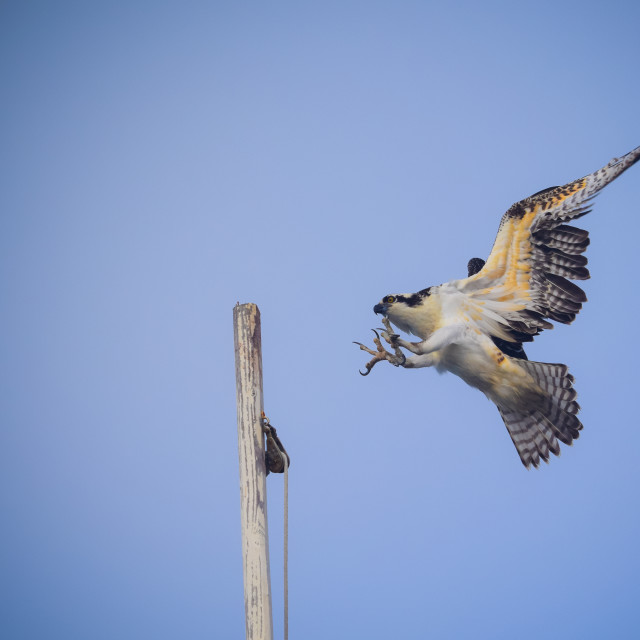 """Osprey Landing"" stock image"