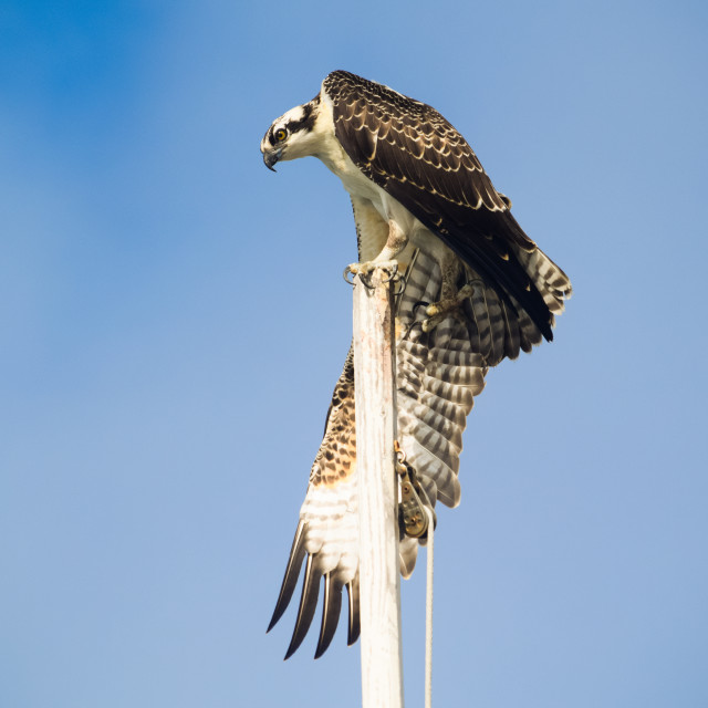 """Osprey Stretching"" stock image"