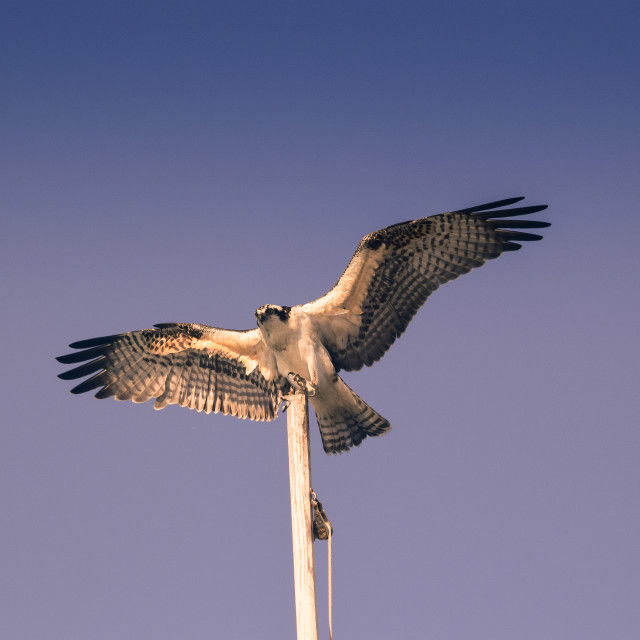 """Osprey with moon"" stock image"