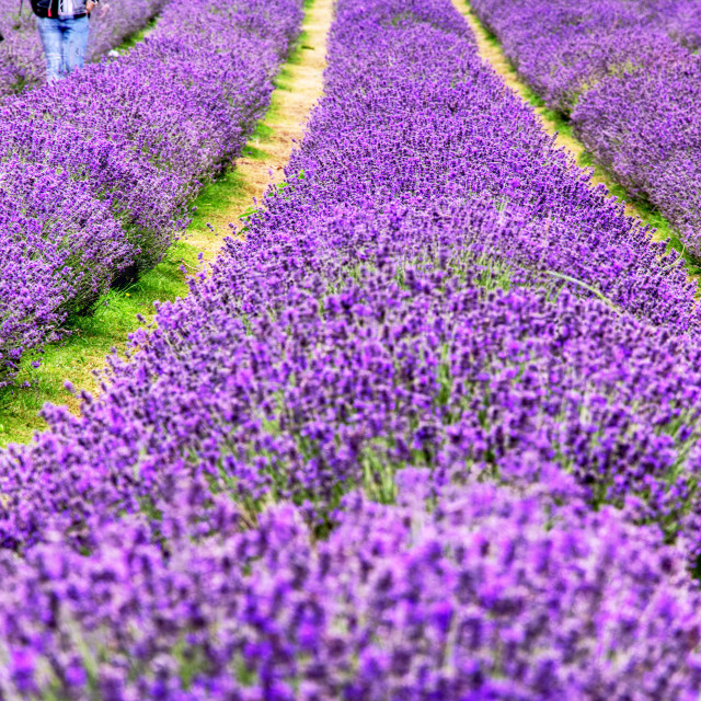 """Field of Lavender"" stock image"