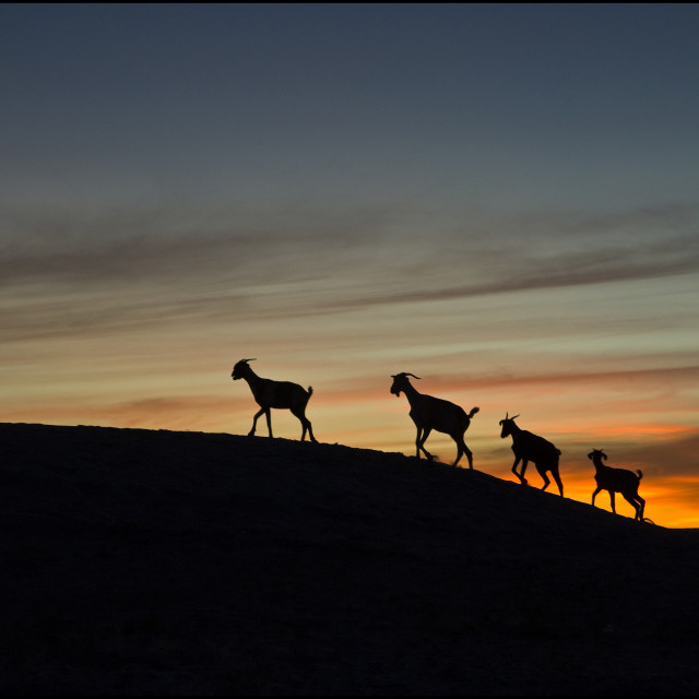 """Goats at sunset; Sahara Desert, Mali, Africa"" stock image"