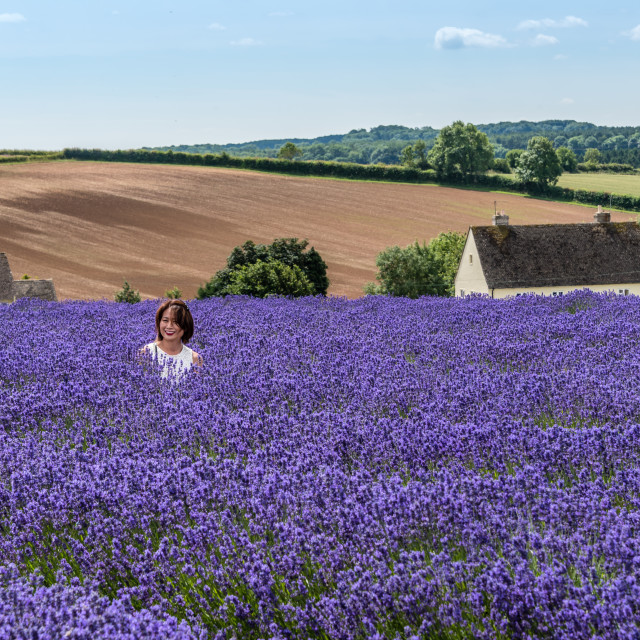 """Cotswold Lavender"" stock image"